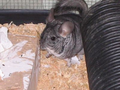 """Chinch"" - Chinchilla"